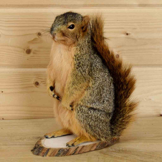 Fox Squirrel Taxidermy Mount