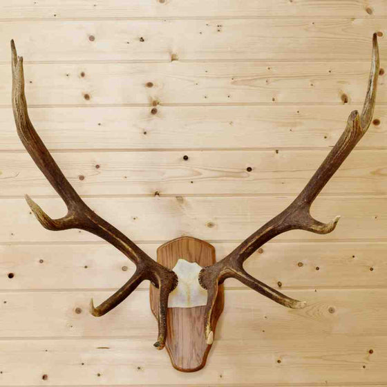 Elk Horns with Plaque for Sale