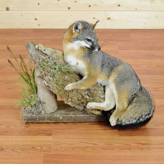 Gray Fox display