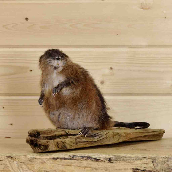 Muskrat Taxidermy Mount for Sales