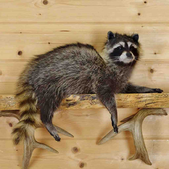 Stuffed Raccoon for Sale