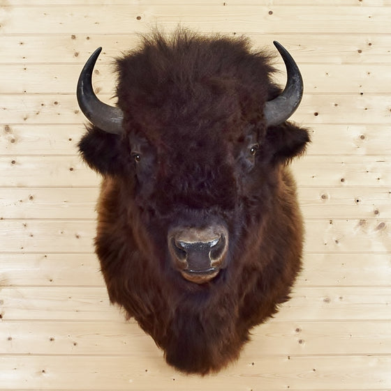 Bison Taxidermy Mount for Sale