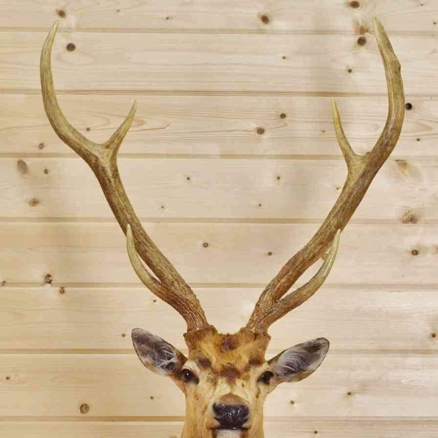 Axis Deer Taxidermy Mount - SW9004