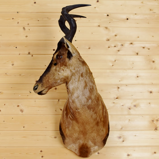Red Hartebeest Taxidermy Mount