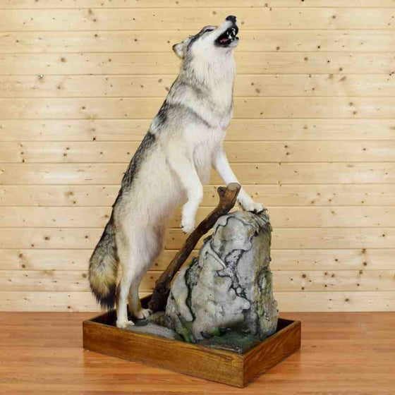 Gray Wolf Taxidermy Mount