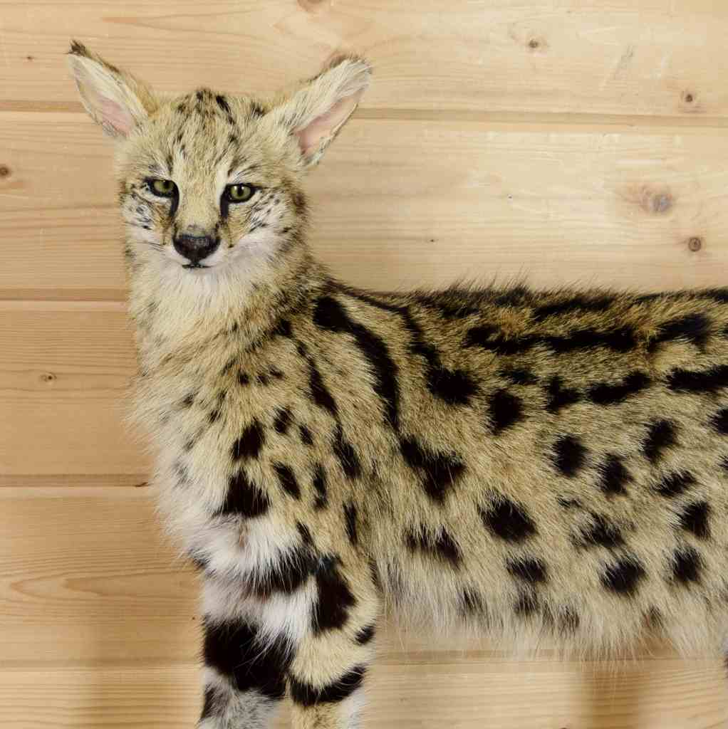african serval cat for sale Online Shopping -