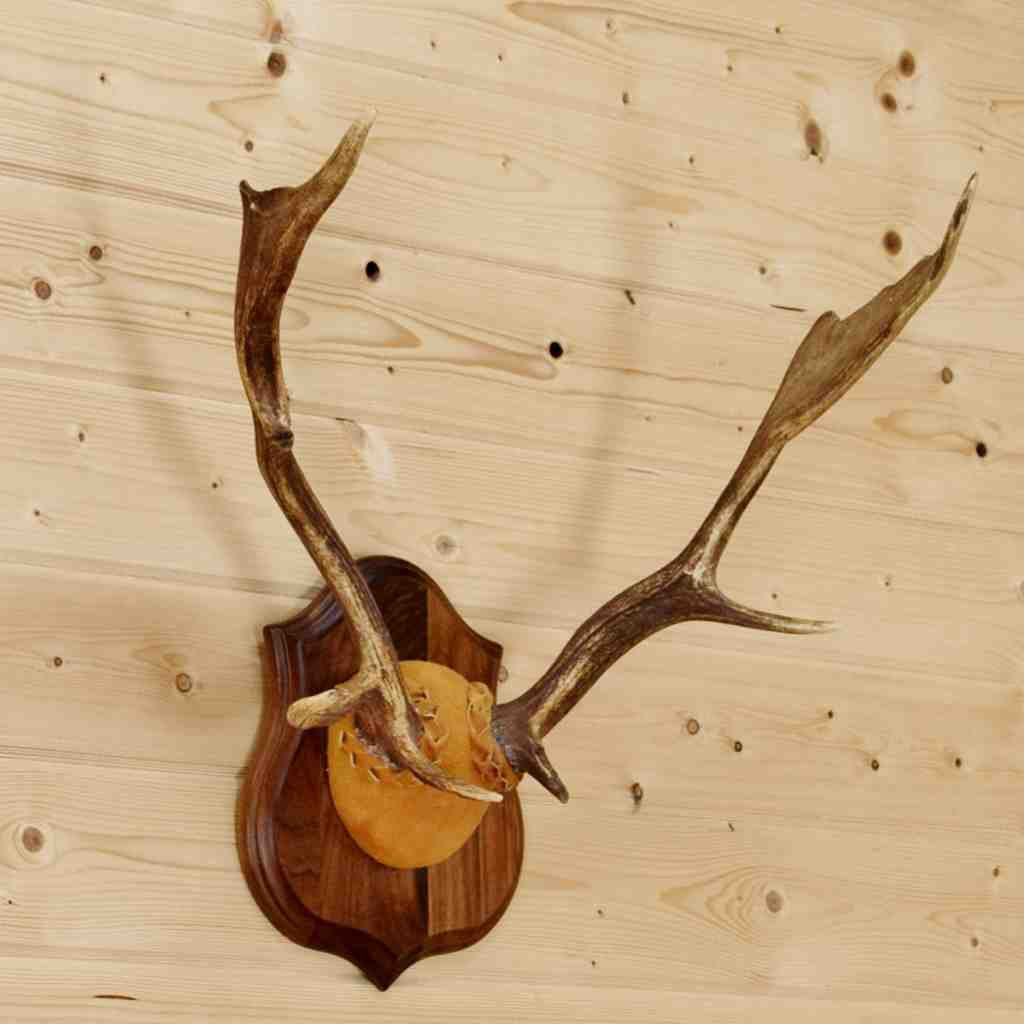 Fallow Deer Antlers SW8894 for purchase at Safariworks Taxidermy Sales