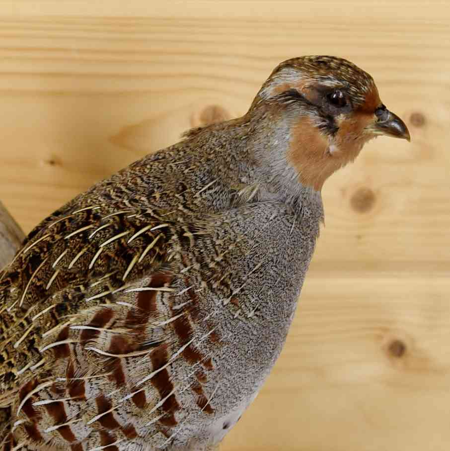 Hungarian Partridge Taxidermy Mount - SW5929