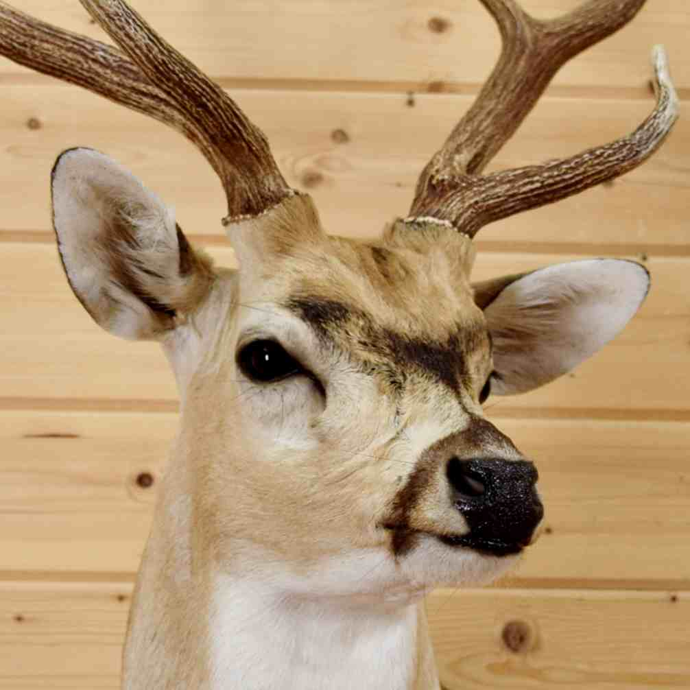 Axis Deer Taxidermy Mount - SW6522