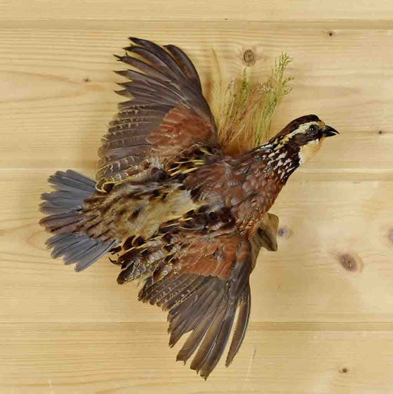 Bird Taxidermy for Sale