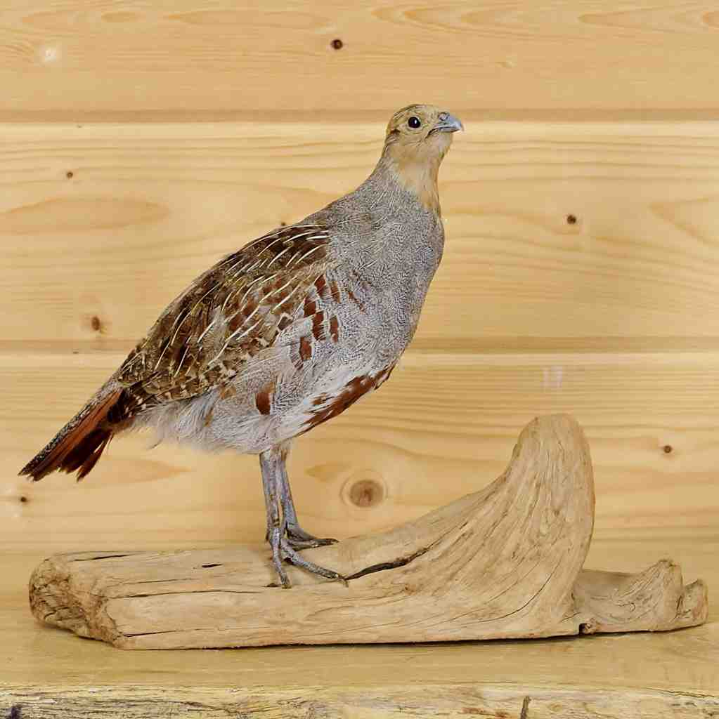 Hungarian Partridge Taxidermy Mount - SW5994