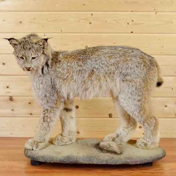 Lynx Taxidermy mount