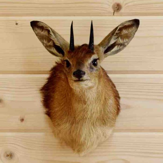 Safariworks Taxidermy Sales - Grysbok