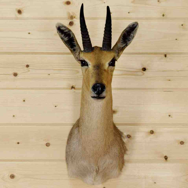 Mountain Reedbuck Taxidermy Mount For Sale Sw9037