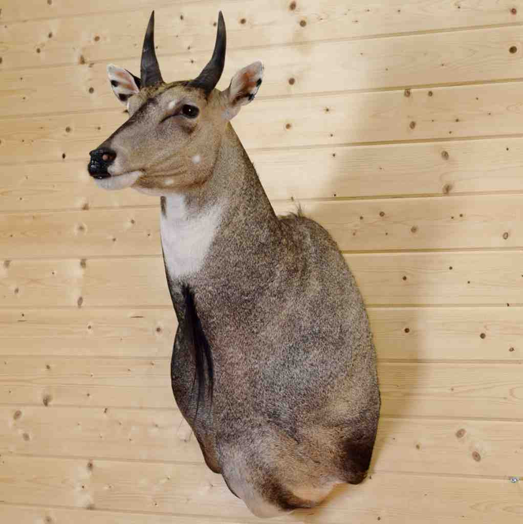 Nilgai Blue Bull Taxidermy Mount - SW4120