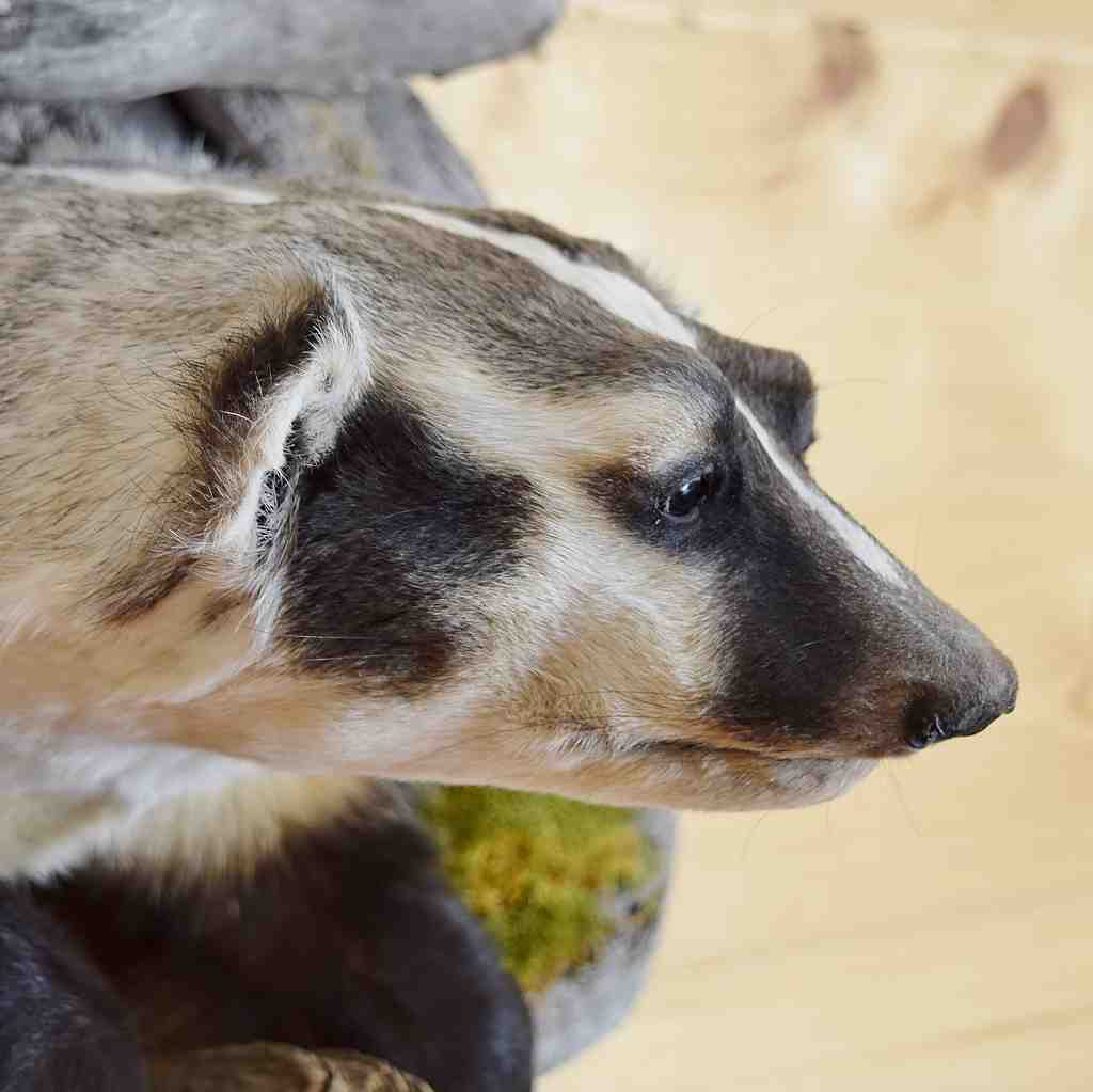 N  American Badger - Peeking - Taxidermy For Sale - SW6131