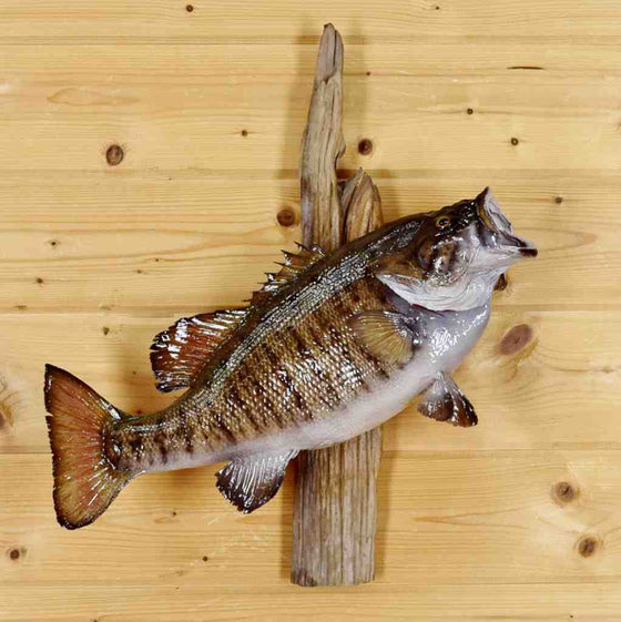 Smallmouth Bass Taxidermy