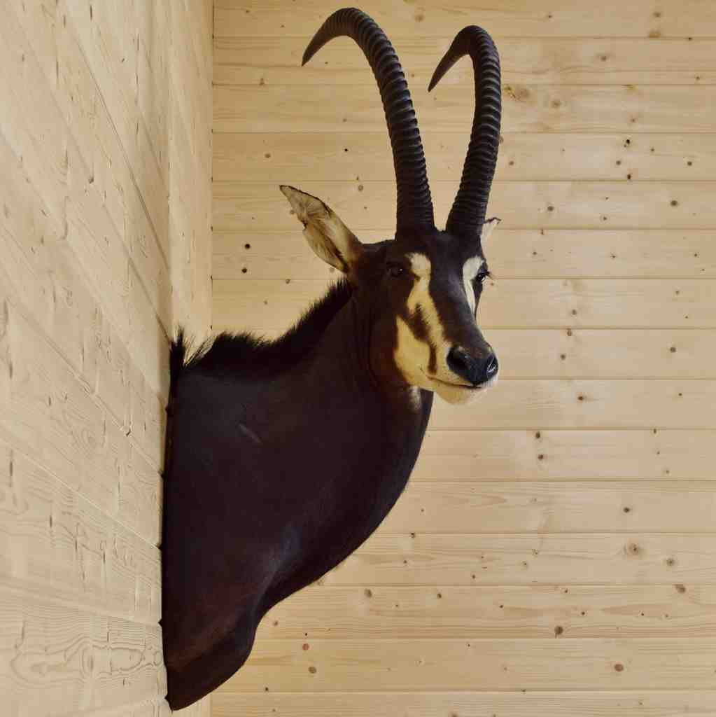 African Sable Taxidermy Mount For Sale At Safariworks