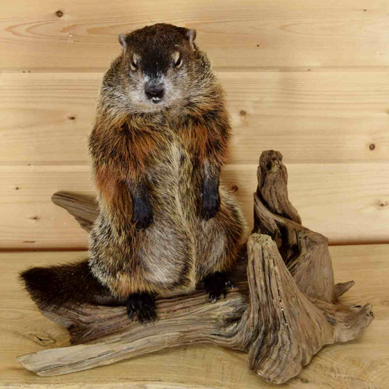 Groundhog Mount