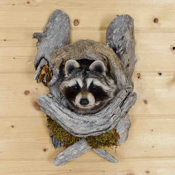 Raccoon Mounts for Sale