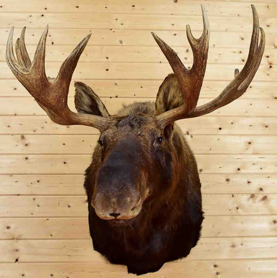 Moose Heads for Sale
