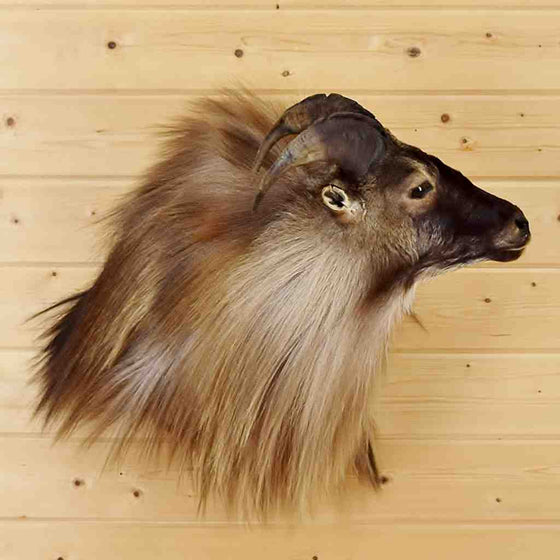 New Zealand Tahr Taxidermy mount for sale