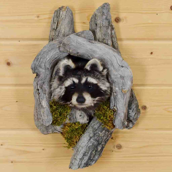 Raccoon Taxidermy mount for sale