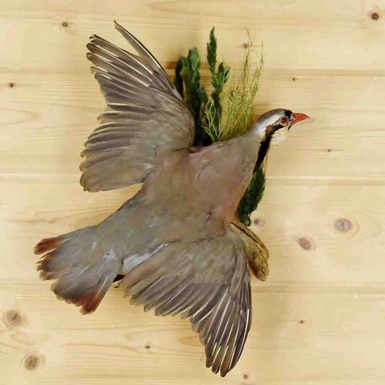 Chukar Bird Mount