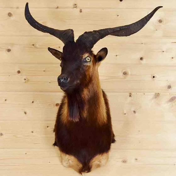 Catalina Goat Taxidermy for Sale