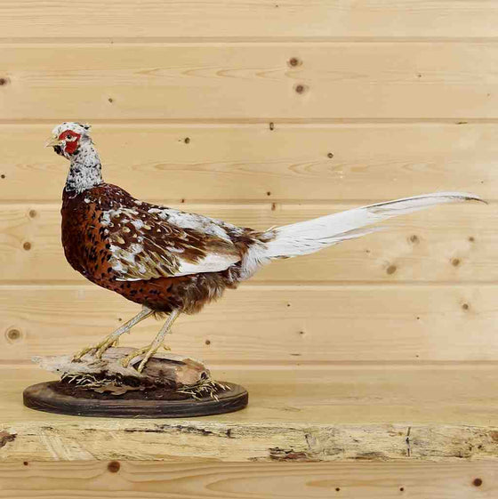 Taxidermied Pheasant Mounts for Sale