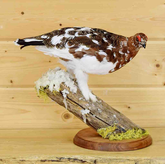 Ptarmigan Taxidermy mount