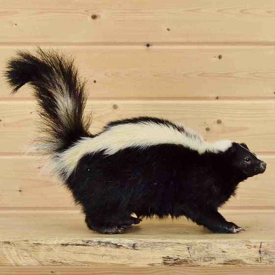 Skunk Taxidermy