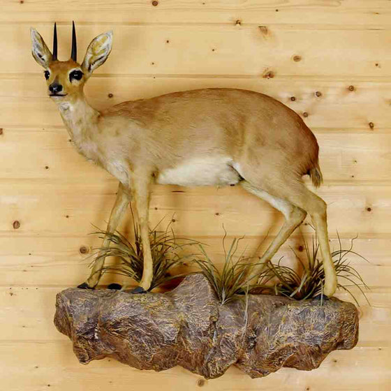 Steenbok - Steinbok- Taxidermy Mount for Sale
