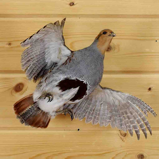 Partridge Taxidermy
