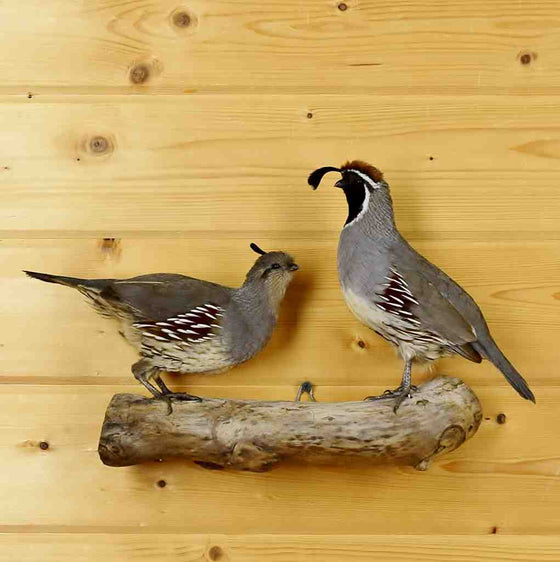 California Gambels Quail Mount