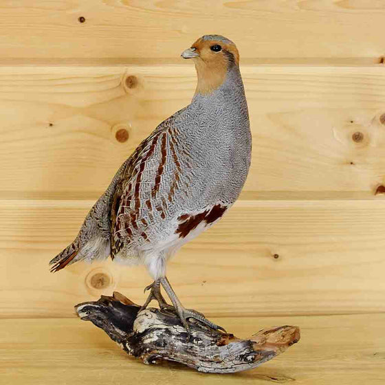 Partridge taxidermy mount for sale