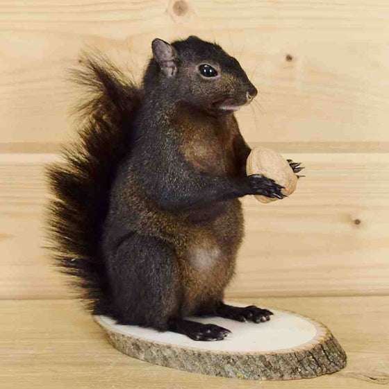 Black Squirrel Taxidermy