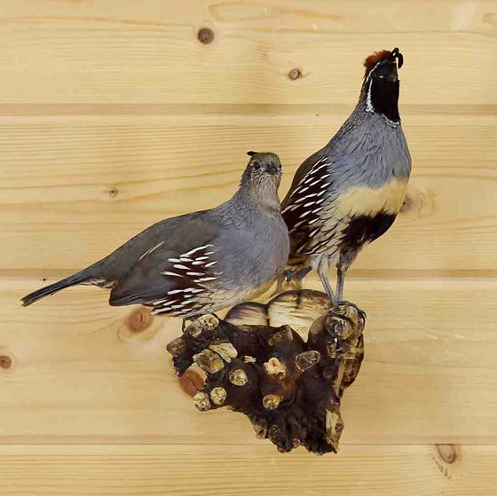 Gambel's Quail Bird Taxidermy