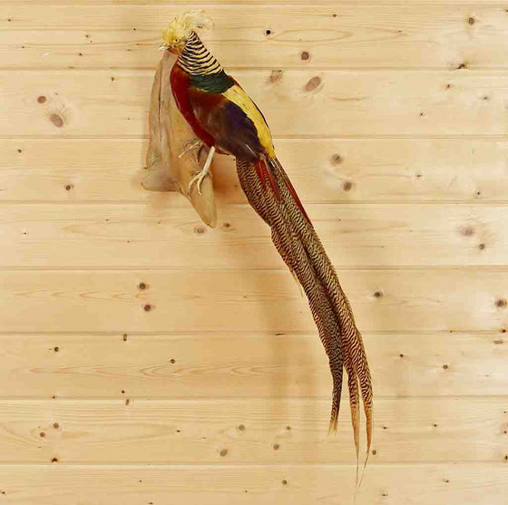 Red Golden Pheasant Bird Taxidermy