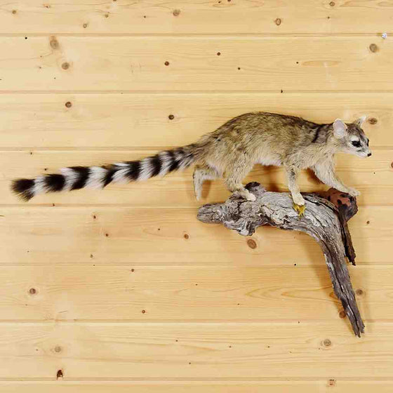 Ring-Tailed Cat Mount for Sale