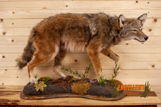 coyote lifesize full body taxidermy mount for sale