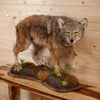 Excellent Coyote Full Body Lifesize Taxidermy Mount DW0003