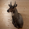 Premier Rare Exotic Nilgai Blue Bull Taxidermy Shoulder Mount DW0012