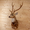 Excellent Axis Deer Taxidermy Shoulder Mount DW0015