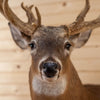 "Premier 10X5 239"" Whitetail Buck Deer Taxidermy Shoulder Mount DW0018"