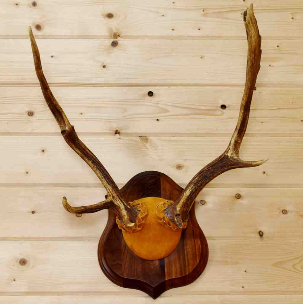 Antlers For Sale >> Fallow Deer Antler Mount For Sale Sw8894