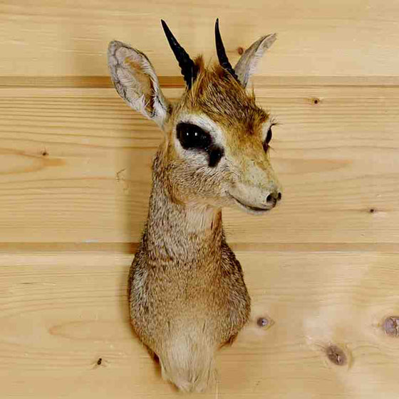 dik-dik taxidermy for Sale