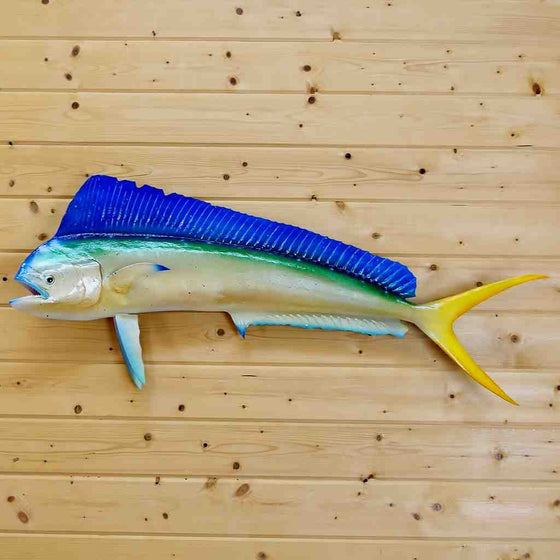 Mahi Mahi Dolphin Reproduction Taxidermy Mount