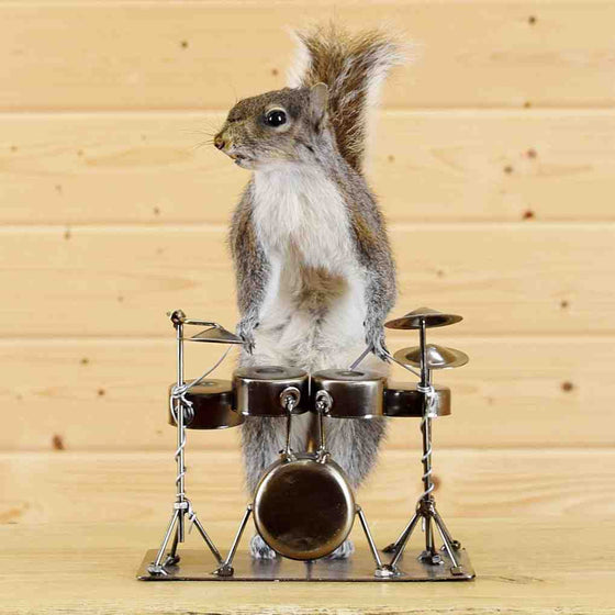 Drummer Squirrel - Novelty Taxidermy