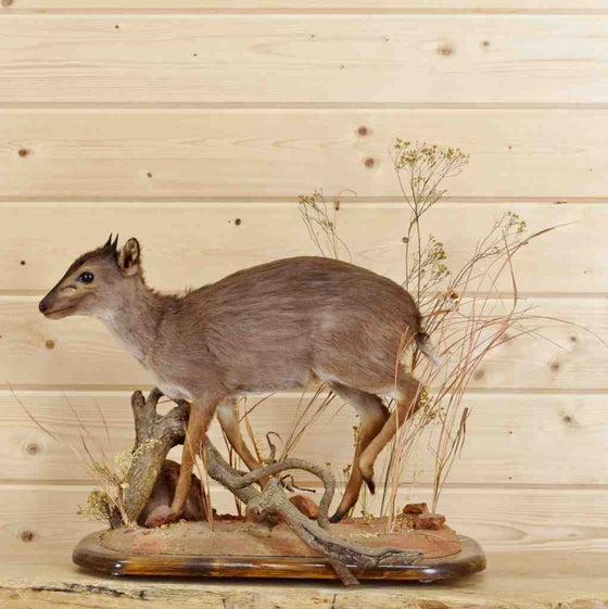 Blue Duiker Taxidermy Mount